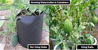 """growing watermelon in pot"",""watermelon health benefits"",""growing watermelon"""