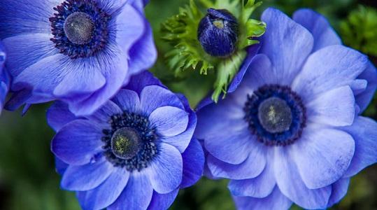 Mavi Anemon Yağı Faydaları
