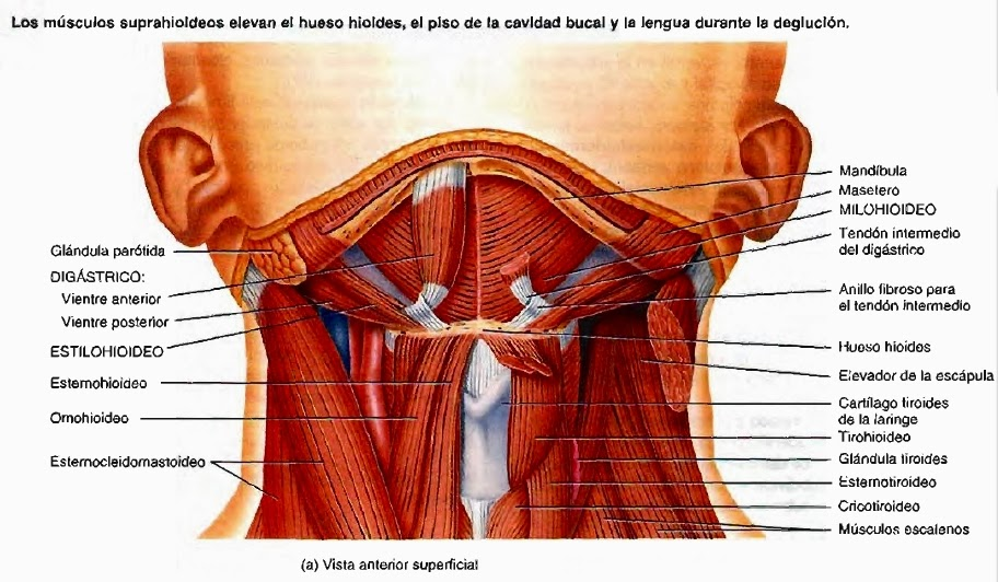 Vista+anterior+superficial+cuello
