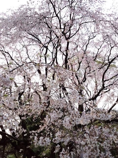 六義園のしだれ桜です。
