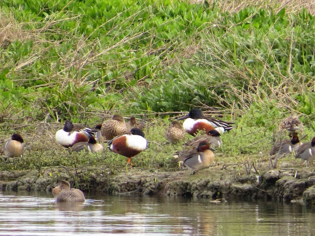 SF Bay Area Birds: northern shovelers at the Palo Alto Baylands