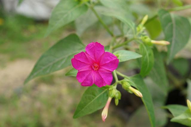 Hoa Phấn - Mirabilis jalapa - Nguyên liệu làm thuốc Nhuận Tràng và Tẩy
