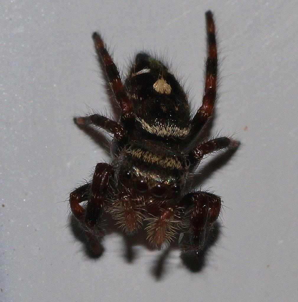 tiny jumping spider about half the size of my little fingernail