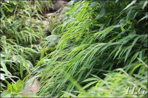 lên núi câu cua, câu cua, Tam đảo, cỏ cảnh, cỏ sân vườn