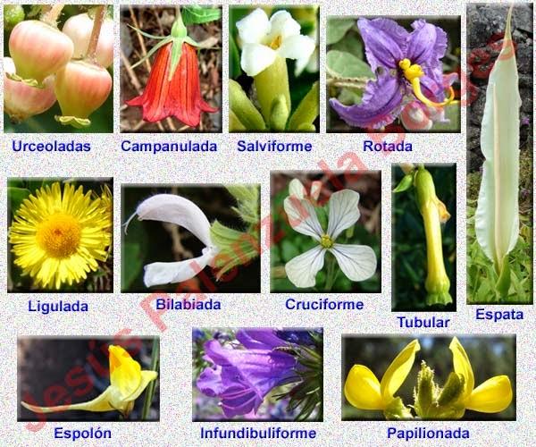 Jesus palenzuela borges glosario bot nico for 5 tipos de plantas ornamentales