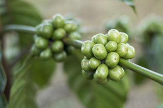 Green Coffee helps lose weight? All your questions answered.