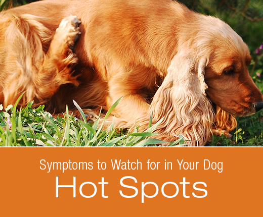 Symptoms to Watch for in Your Dog: Hot Spots (acute moist dermatitis)
