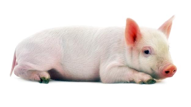 10 Fakta Daging Babi