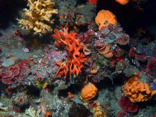 Pentapora fascialis - Rose de mer