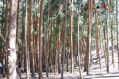 Lined pine trees