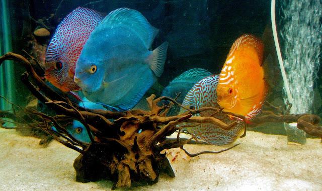 Perikanan, Ternak Ikan, Jenis ikan hias Air Tawar Untuk Akuarium, Ikan koi, Ikan Koki, Ikan Sapu-Sapu, Ikan Arwana, Ikan man fish, Ikan cupang, Macam-Macam Ikan Hias Air tawar