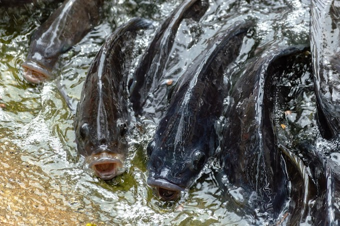 Ribuan Ikan Kabur dari Pantai Alar Amurang, Ada Apa?