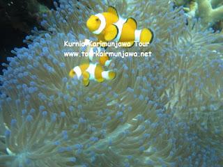 ikan amphiprion dan anemon di karimunjawa