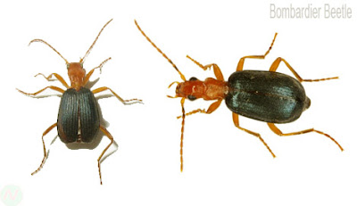 Bombardier beetle insect