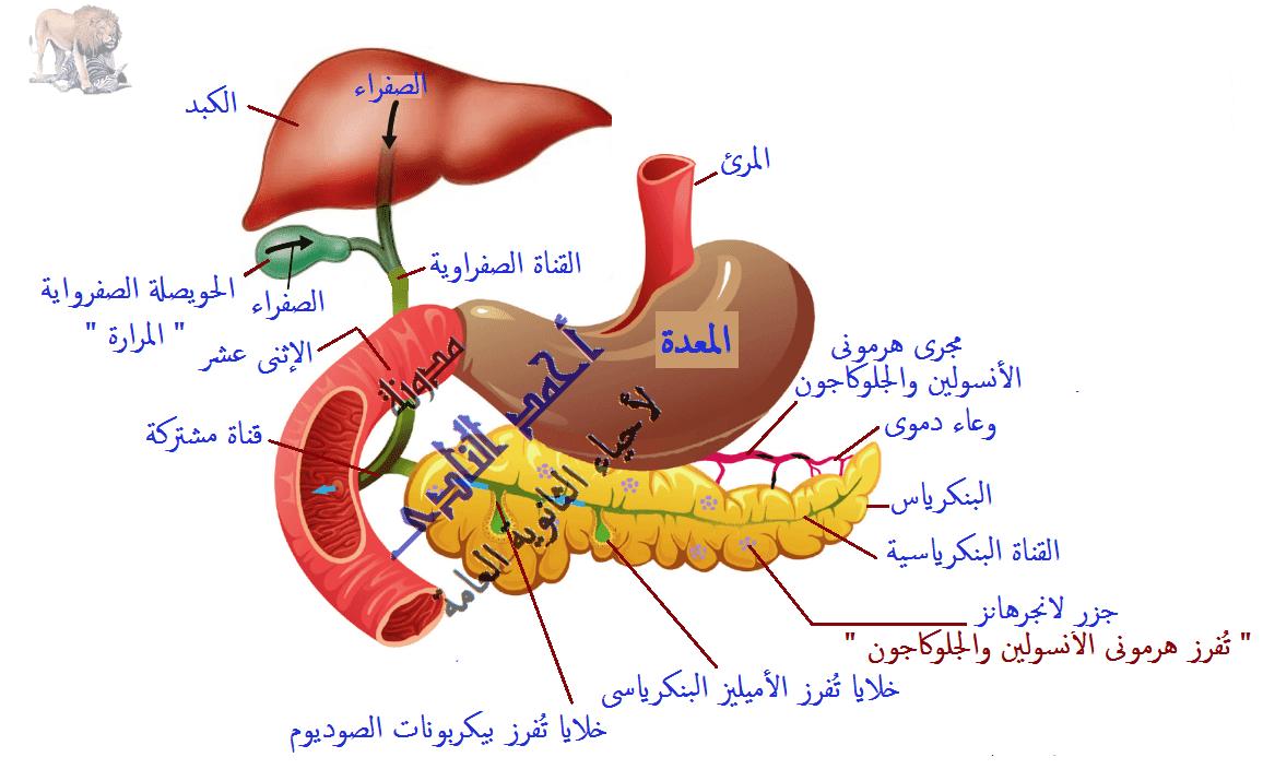 التغذية فى الكائنات غير ذاتية - الجهاز الهضمى فى الإنسان - الهضم فى الأمعاء - المرارة - الكبد - الحويصلة الصفراوية - العصارة الصفراوية - أحياء الثانوية العامة - مدونة أحمد الناد