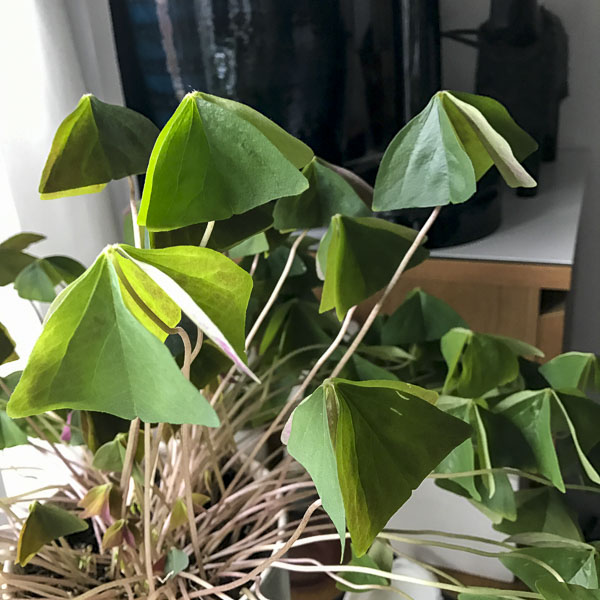 grön oxalis