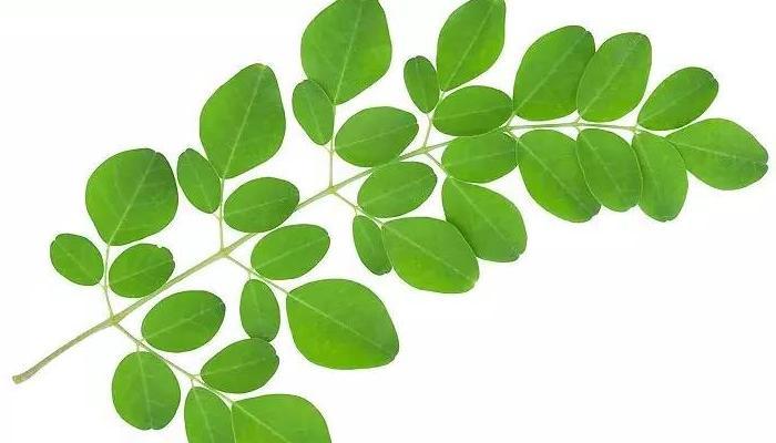 Khasiat daun kelor