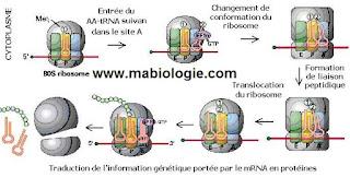 Chez les organismes procaryotes La traduction se fait au niveau des ribosomes