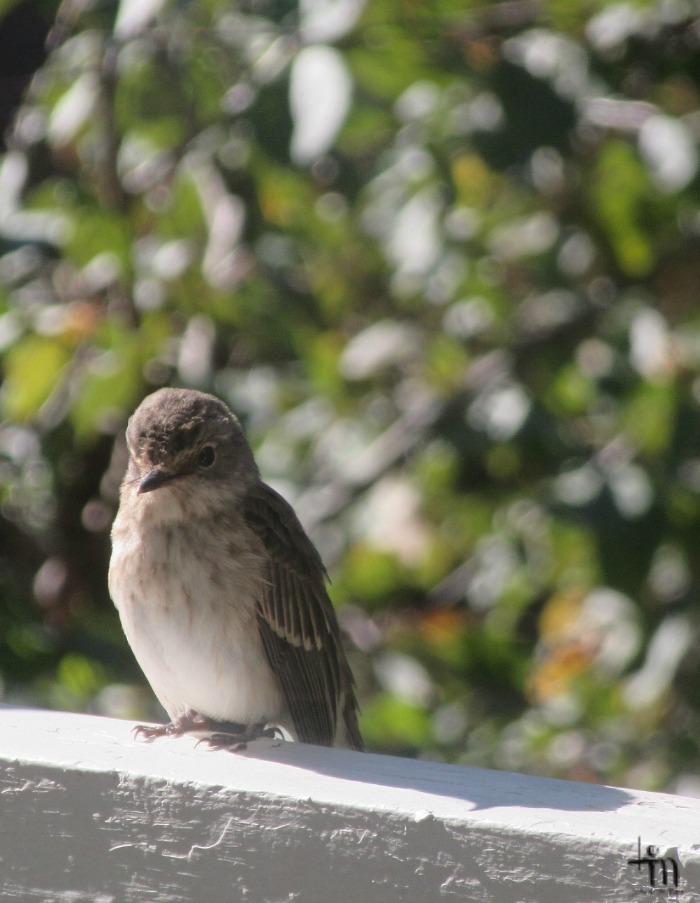 pikku lintu terassin kaiteella syksyllä
