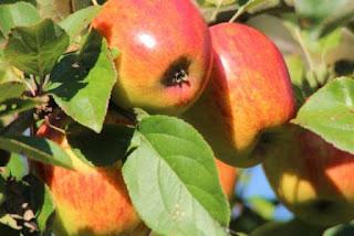 Khasiat-Jus-Buah-Apel