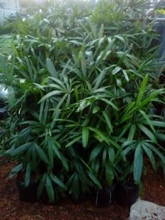 kami tukang taman murah menjual pohon palm waregu, palm regu dengan berbagai ukuran dan harga yang bersaing dan paling murah