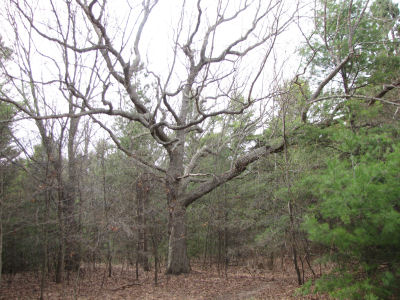spreading red oak