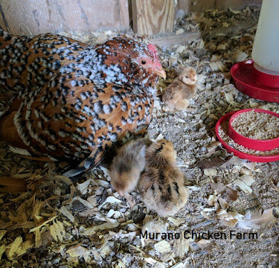 hen with chicks