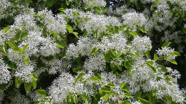 White fringe tree at Brookgreen Gardens