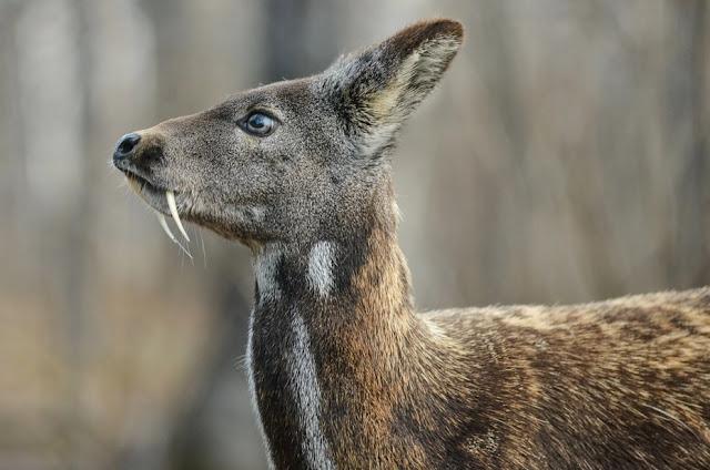 'Vampire' Deer?! 5 South Korean Animals You May See at the 2018 Winter Olympics