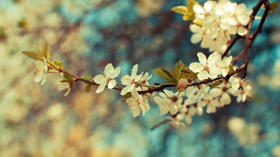 fondo wallpaper computadora rama de flor cerezo blanco