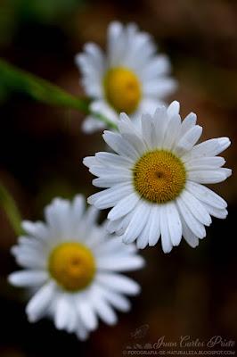 Leucanthemum Vulgare - Margarita Mayor (fotografia-de-naturaleza.blogspot.com)