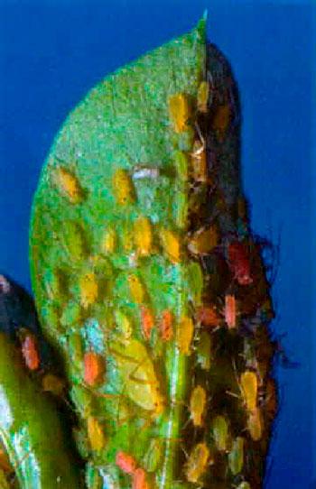 Acyrthosiphon pisum