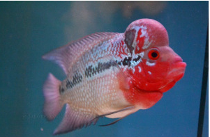 Ikan Hias Air Tawar Termahal  kemalau
