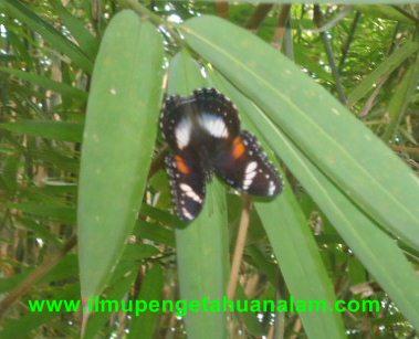 Kupu-kupu bersayap hitam dengan pelet warna putih dan kuning