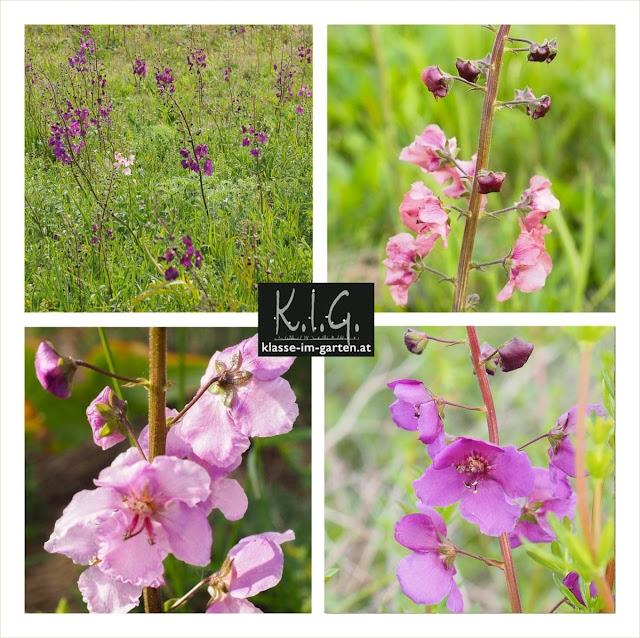 Farbvariationen Violette Koenigskerze (Verbasum phoeniceum)