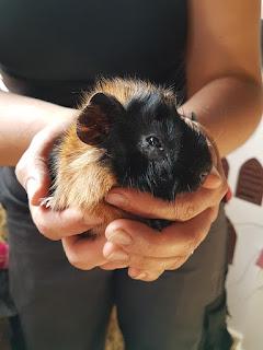 meerschweinchen-verstehen: - Das kleine Meerschweinchen Hope bei der Patenschaftsübernahme