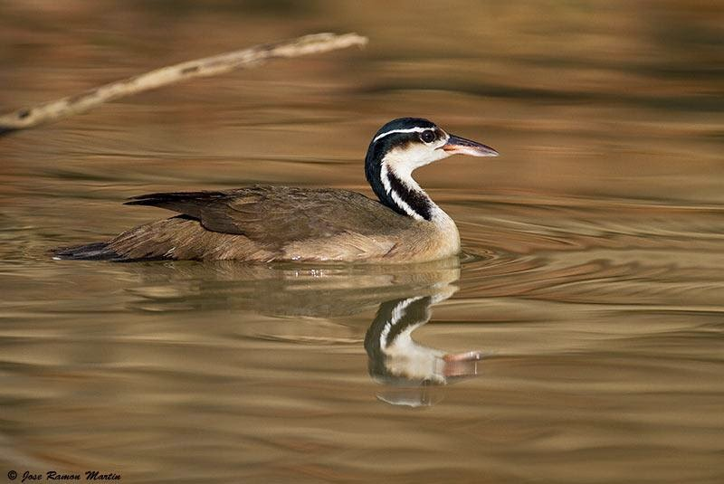 Sungrebe bird