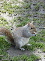 Squirrel, malooka