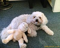 Bolognese small dog with toy