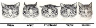 mengenal sifat bahasa tubuh kucing dari gerak telinga kucing