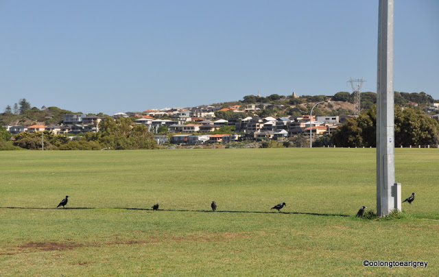 Magpies, East Fremantle, Western Australia