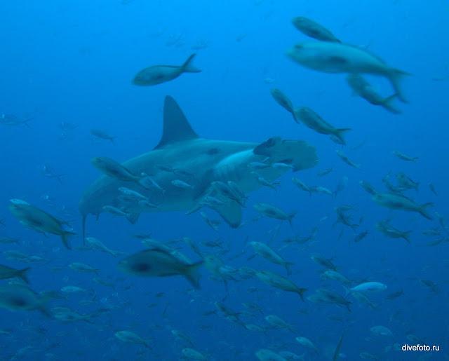 Акула молот и рыбы фото