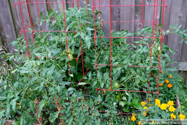tomatoes growing in a raised bed in square red cages