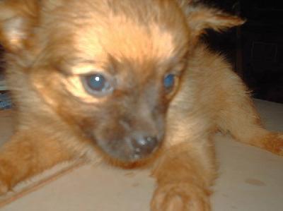 Rottweiler Mix German Shepherd Puppies Cute Dogs: Papillon Po...