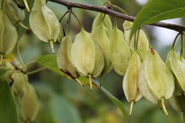 fruchtstand