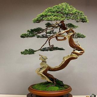 شجرة بونساي 5
