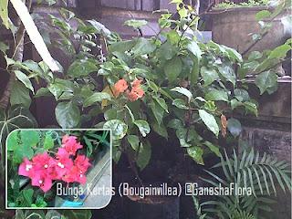 Bunga Kertas (Bougenville)