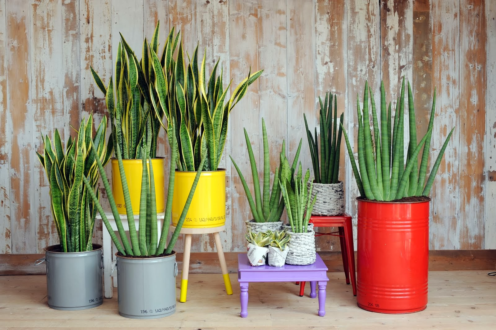 mi rinc n de sue os decorar con plantas la sansevieria. Black Bedroom Furniture Sets. Home Design Ideas