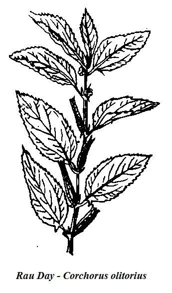 Hình vẽ Rau Day - Corchorus olitorius - Nguyên liệu làm thuốc Chữa Bệnh Tiêu Hóa