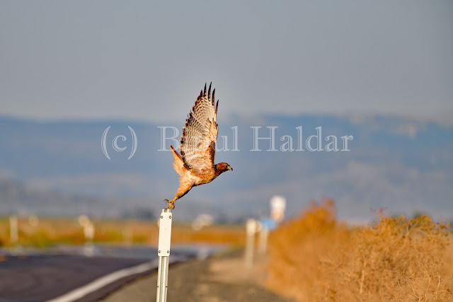 Hawk Taking off from a Pole